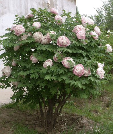 Цветок пион древовидный